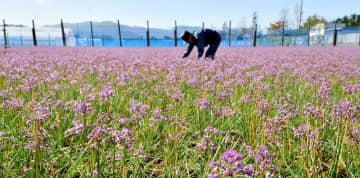 秋晴れの柔らかな日差しに映える赤紫色のラッキョウの花=11月8日、福井県坂井市三国町黒目