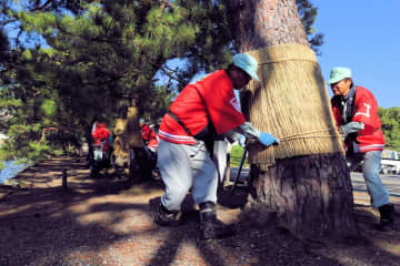 「いろは松」にこもを巻き付け、冬に備える作業員ら(彦根市金亀町・彦根城)