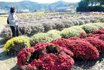 球形の株に小さな花を咲かせるボサ菊=6日、小川町小川