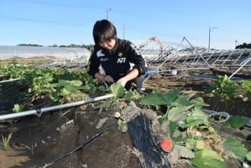 赤く実ったイチゴを大切に収穫する嶋田さん。パイプハウスは濁流で倒れた=6日午後、足利市稲岡町