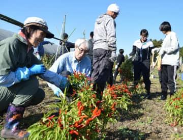 トウガラシ収穫を体験する参加者