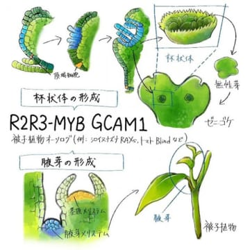 研究の概略図。(画像:神戸大学発表資料より)