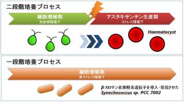 従来の二段階培養プロセス (上) と本研究の一段階培養プロセス (下)。(画像:神戸大学発表資料より)