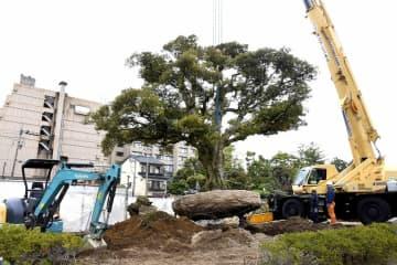 移植のためクレーン車でつり上げられるべにやのシンボル「シイの木」=11月11日、福井県あわら市温泉4丁目