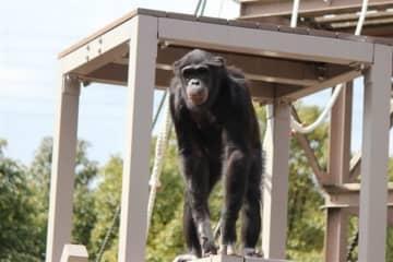 熊本市動植物園 結婚ラッシュ チンパンジー、ニホンイヌワシ、スンダスローロリス