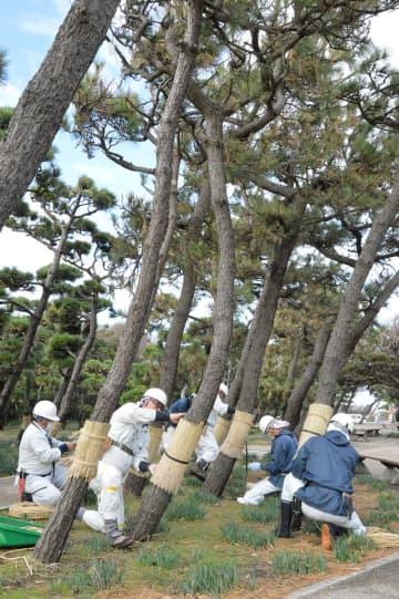 県立城ケ島公園で行われたクロマツへの「こも巻き」=三浦市三崎町城ケ島