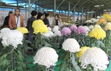 さまざまな色と形が並ぶ「加茂菊花展」の会場=12日、加茂市長谷の冬鳥越スキーガーデン