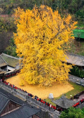 色づいた樹齢1400年の大イチョウ 陝西省西安市