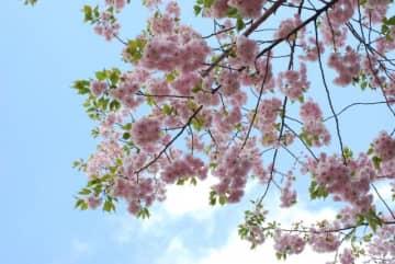 2020年の「桜を見る会」が中止された