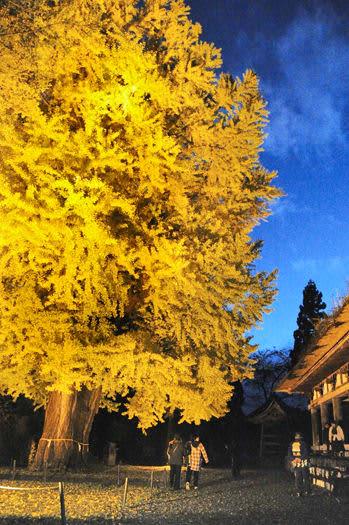 試験点灯された大イチョウと新宮熊野神社「長床」(右)=14日