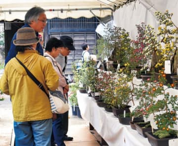 秋の小菊盆栽80鉢以上、見頃に 「瀬谷菊友会 」長屋門公園で11月25日まで