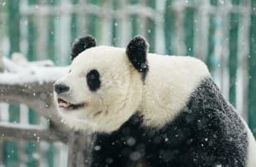 雪の季節を楽しむパンダ 黒竜江省