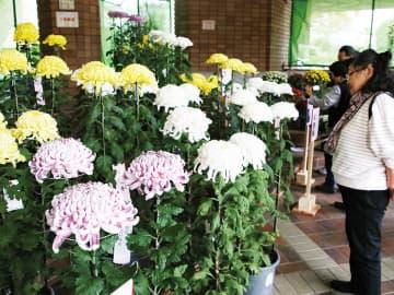 白、黄色などに咲いた大輪の花々