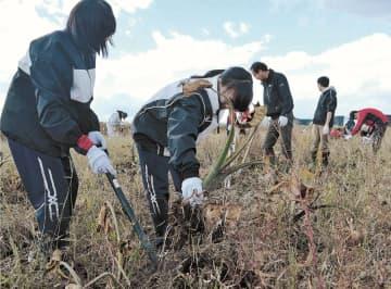 地中に実った里芋を掘り出す生徒たち=14日、宮城県大郷町粕川