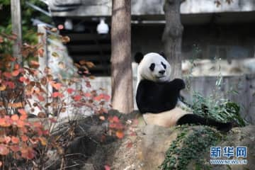 パンダの「ベイベイ」が中国に帰国へ、米国でお別れのイベントがスタート―中国メディア
