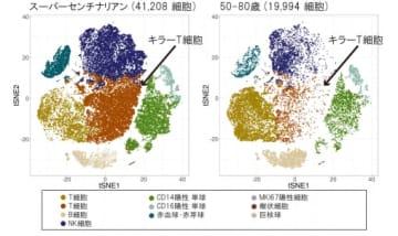 スーパーセンチナリアン(左)と50歳から60歳までのグループ(右)における免疫細胞の比較(写真:慶應大の発表資料より)