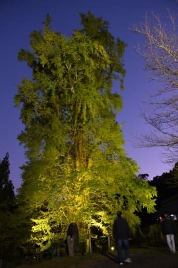 色づき始めた葉が照らし出された大イチョウ=宮崎市高岡町内山