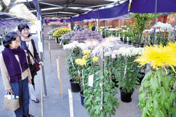 多彩な菊が展示されている会場=川越市の喜多院特設会場