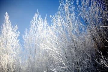 氷点下40度近くの冷え込みがもたらす霧氷 黒竜江省大興安嶺