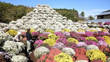 冠雪した富士山をイメージしたざる菊=小田原市久野