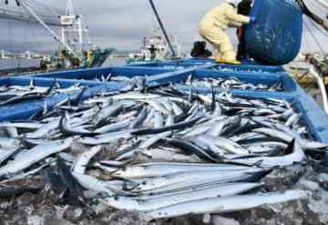 小名浜漁港に水揚げされたサンマ