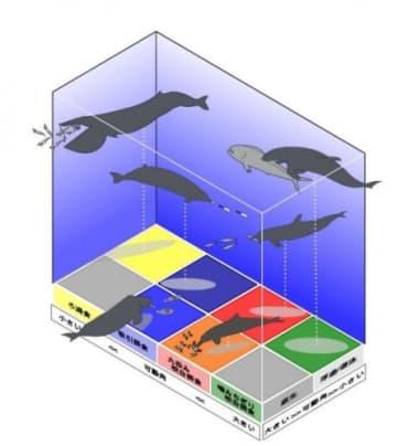 クジラ類における後頭部の関節の可動性と獲物の生息場所および獲物を捕まえる方法の関係。(画像:名古屋大学発表資料より)