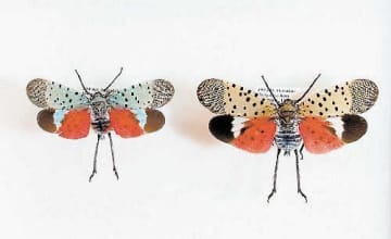 備前市で採集されたシタベニハゴロモ。羽が青みがかった個体(左)も見つかった