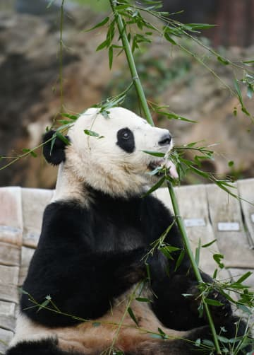 米国生まれのパンダ「貝貝」、中国に向け出発