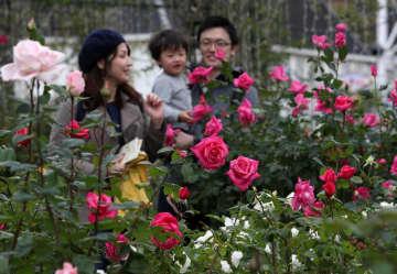見ごろを迎え、上品な香りを漂わせるバラ=ハウステンボス