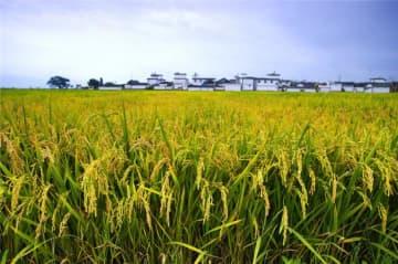 中国の稲作、50年で生産量が130%増―中国メディア