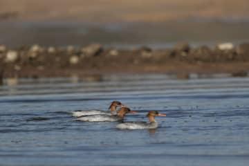 「生きた化石」絶滅危惧種のコウライアイサ、再び安徽省に