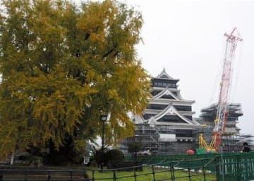 色づき始めた熊本城の大イチョウ。後方は大天守と小天守=24日、熊本市中央区