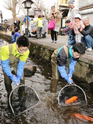 瀬戸川のコイを越冬のため運び出す中学生たち=飛騨市古川町壱之町、瀬戸川