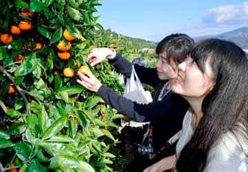 日の丸みかんの園地で収穫体験をする参加者