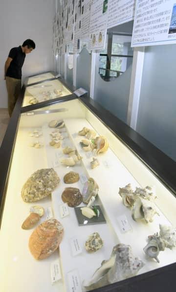 「食」をテーマにさまざまな貝が並ぶ特別展=真鶴町真鶴