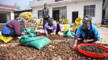 アブラツバキ増産で貧困脱却を後押し 広西凌雲県