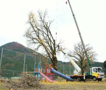 伐採作業が進むイチョウの木=26日、九重町町田の南山田小