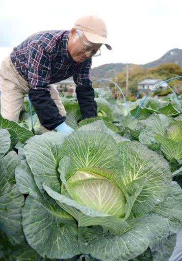 玉太りの良い広甘藍を収穫する惣城さん