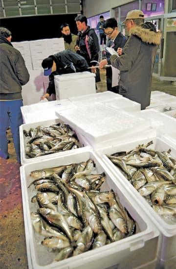 漁港に水揚げされ、競りにかけられた季節ハタハタ=26日午後6時10分ごろ、男鹿市
