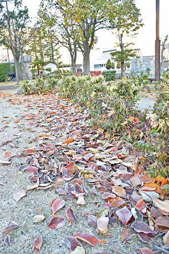 厳しい冷え込みで、霜に覆われた落ち葉や草地=27日午前7時26分、青森市の青い森公園