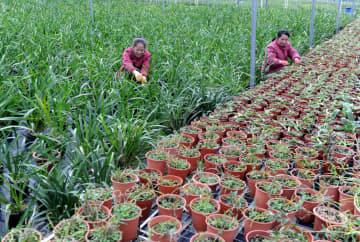 山奥のラン栽培で貧困脱却 広西チワン族自治区