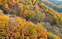 紅葉で染まった斜面をケーブルカーが通る=川西市黒川(小型無人機で撮影)