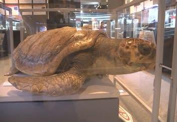 アカウミガメの標本