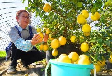 収穫期を迎え、たわわに実ったレモン=3日午前、五霞町江川