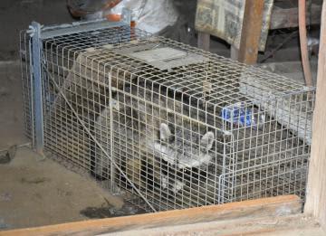 空き家で捕獲されたアライグマ=坂東市内