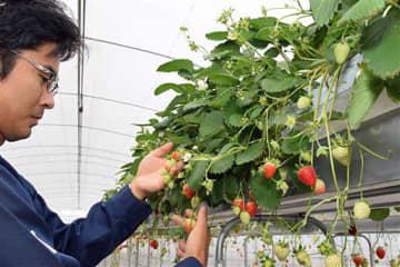 イチゴオーナー制度を行うことになった田舎館の観光イチゴ園