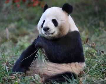 寒い冬でもぽっかぽか 日向ぼっこを楽しむパンダ 陝西省