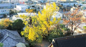 美しく紅葉する大銀杏=11月29日撮影