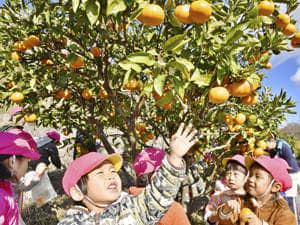ミカンの収穫を楽しむ園児=4日午前10時5分、広野町