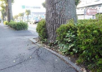 街路樹が成長した影響で、路面が変形した県道益城大津線の歩道=熊本市東区